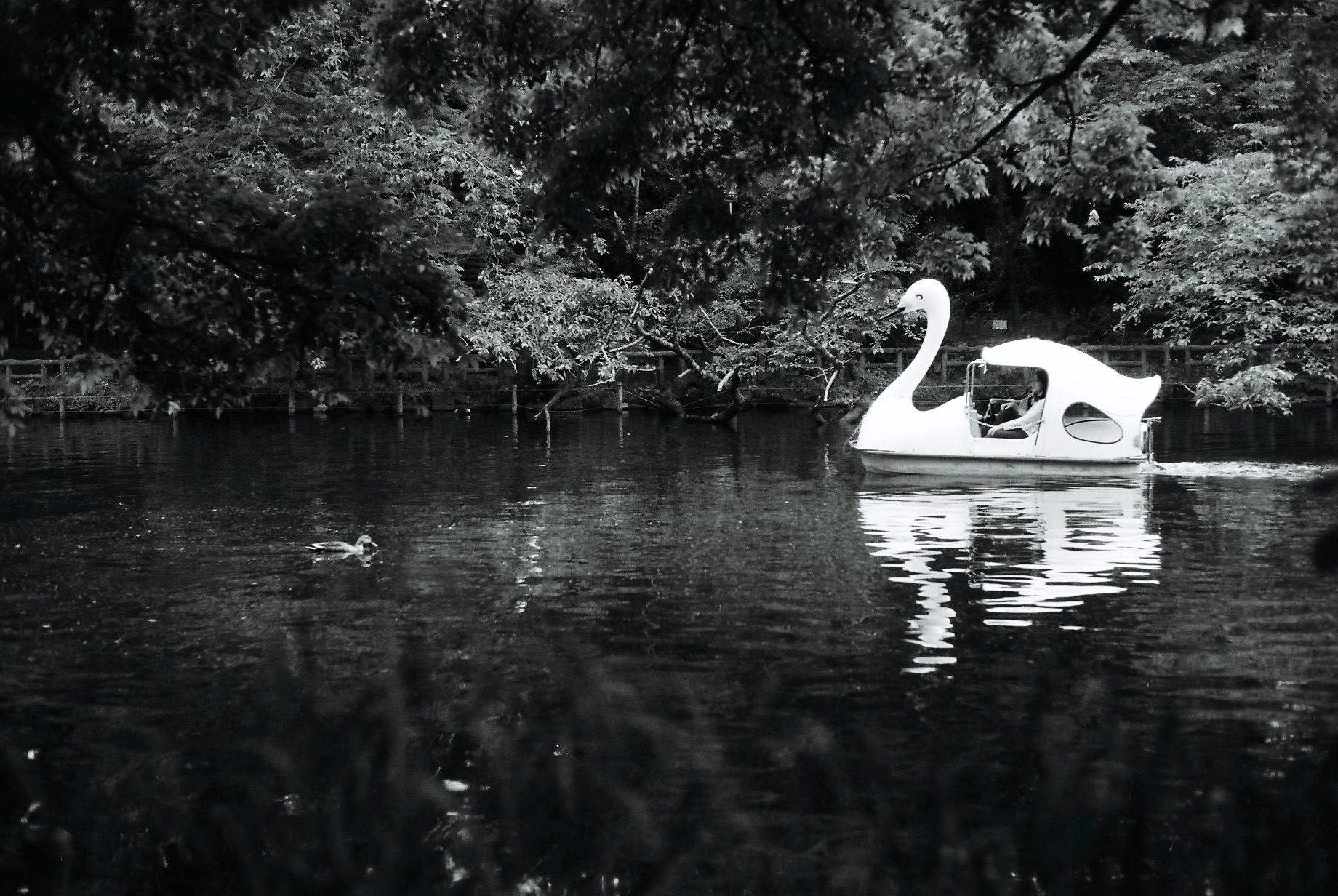 Swan, Inokashira Park, Kichijoji. May, 2016